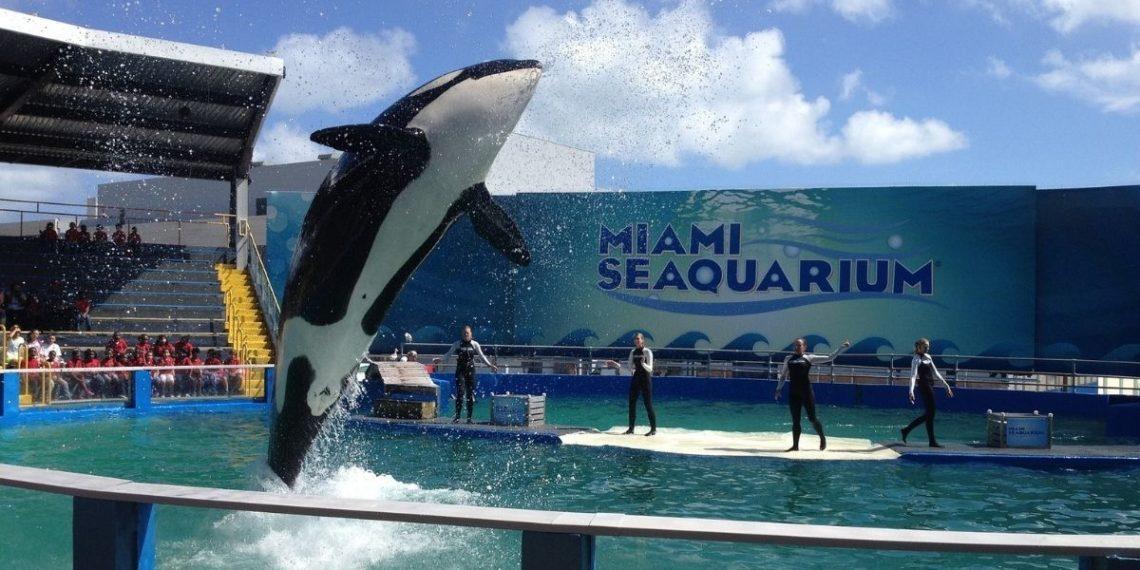 piden la liberación de la orca lolita en EE.UU.