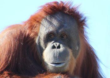 orangutanes en reserva natural en Estados Unidos