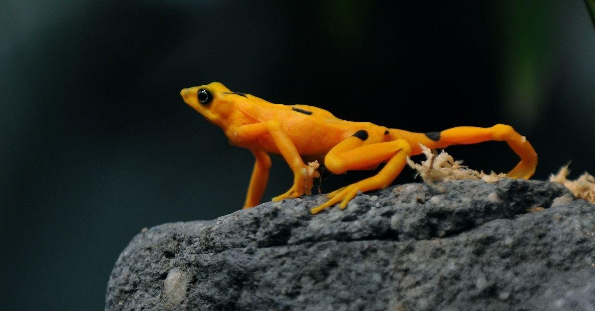 superhongo amenza vida de anfibios