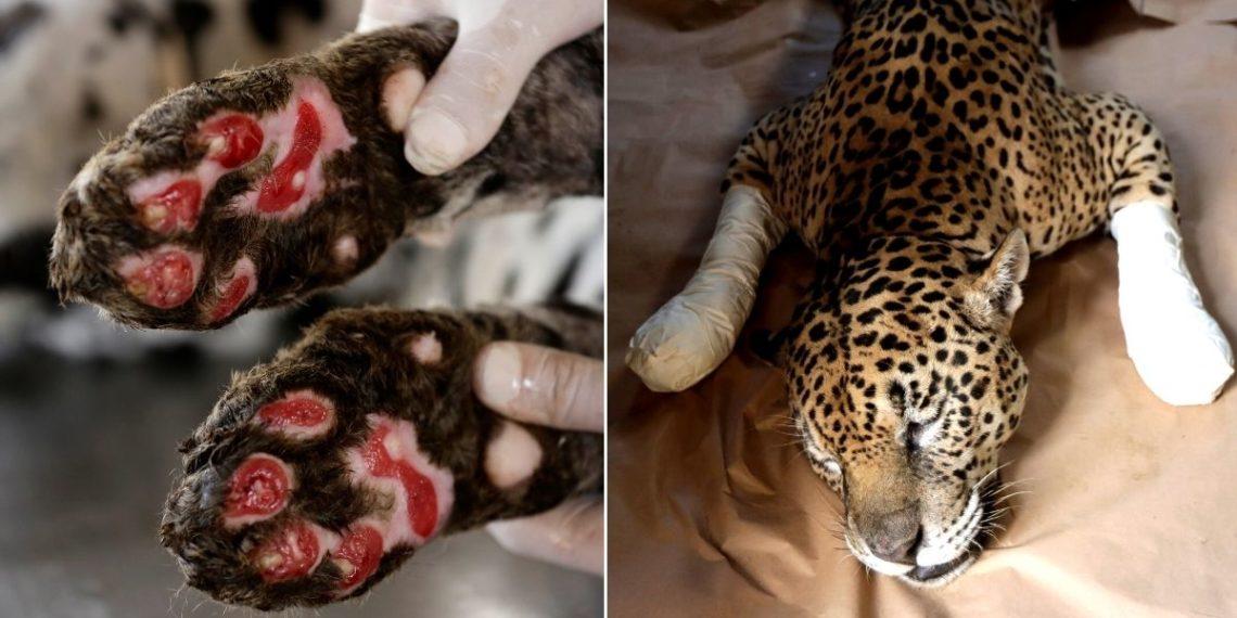 Jaguares heridos por los incendios en el Pantanal en Brasil