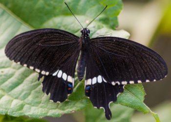 Qué significan las mariposas negras