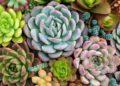 Cómo cultivar suculentas