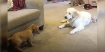 La adorable reacción de un perro al conocer a su nuevo hermanito