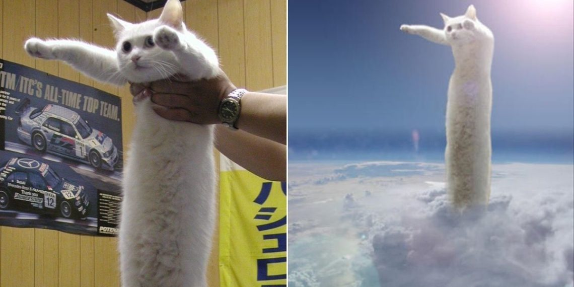 Gato largo