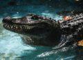 Muja, el caimán en cautiverio más viejo del mundo