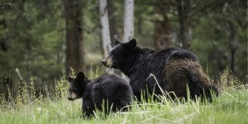 oso roba carne