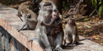 Primates coronavirus