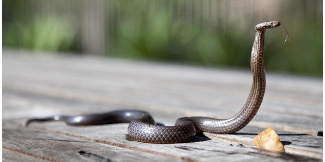 extraen serpiente