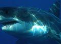 Vacuna tiburones