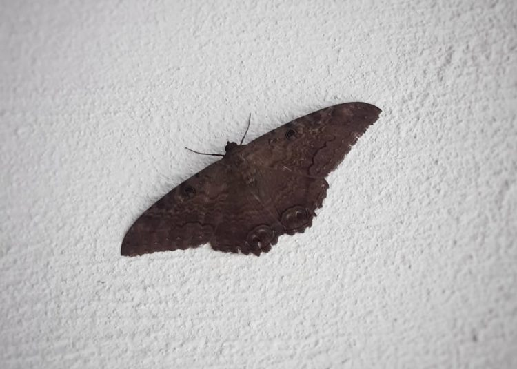 mariposa negra significado
