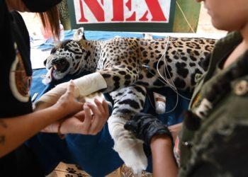 Amanaci, la jaguar herida por las llamas