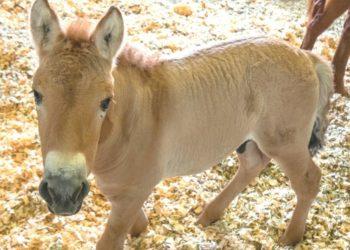 caballo clonado