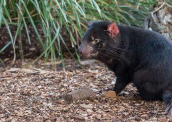 Diablos de Tasmania en Australia
