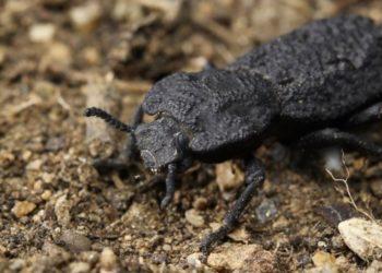 escarabajo acorazado