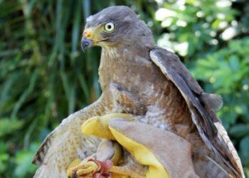 Realizan un trasplante de plumas a un gavilán