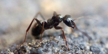 hormigas como mascotas