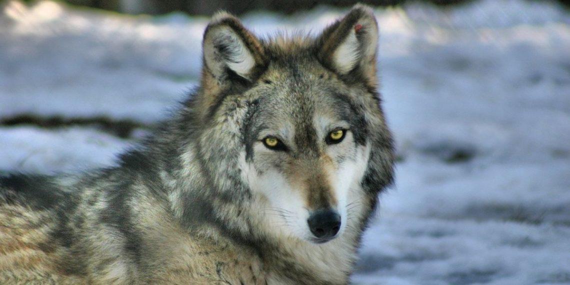 Trump elimina protección a lobos en Estados Unidos
