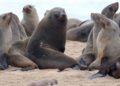 Lobos marinos en África