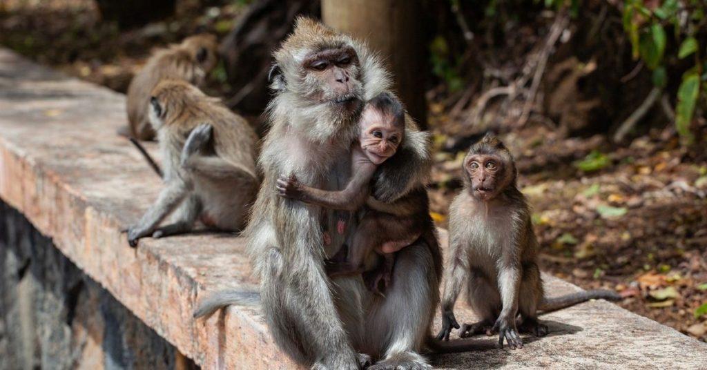 monos ladrones en la India