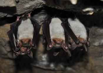 los murciélagos mantienen el distanciamiento social