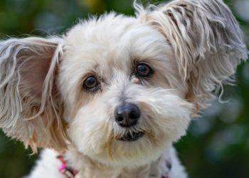 Dou Dou, el perro que caminó durante 26 días para regresar a casa
