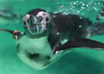 Pingüinos en las Islas Galápagos