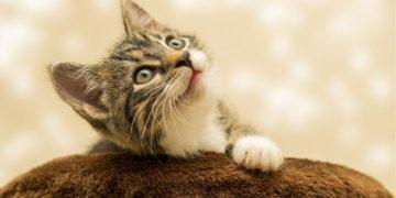 Gatito nacido con 'piernas de rana'
