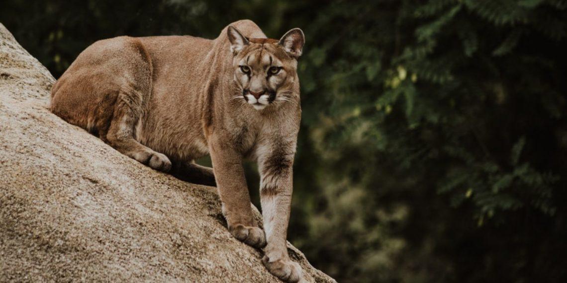 Puma protege a sus crías