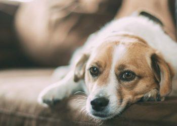 perro con tapabocas