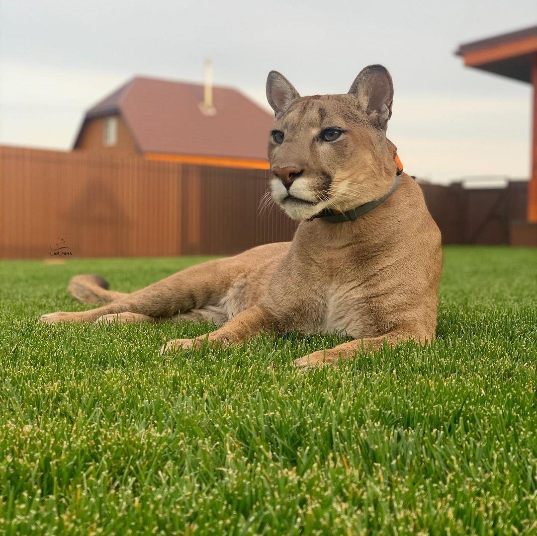 un puma como mascota