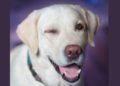Conoce a Shiloh, el perro que fue contratado en un hospital