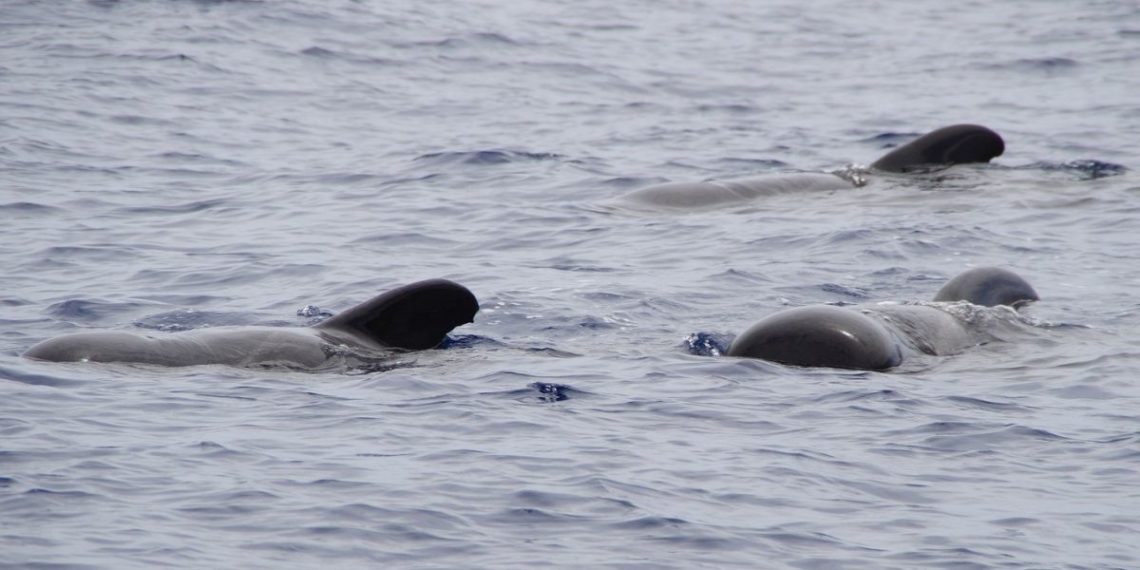 ballenas piloto en Nueva Zelanda