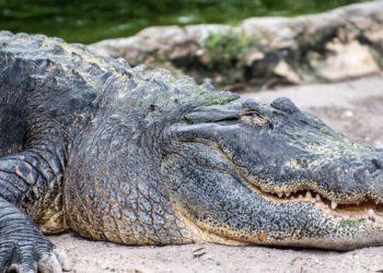 cocodrilo en Florida
