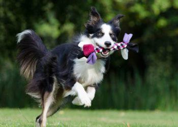 border collie, el perro más inteligente del mundo