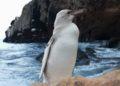 pingüino blanco en las Islas Galápagos