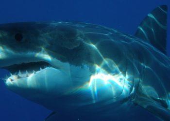 Las orcas serían culpables de la disminución de tiburones en Sudáfrica