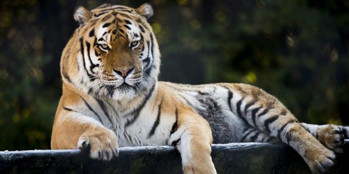 tigre siberiano en Rusia