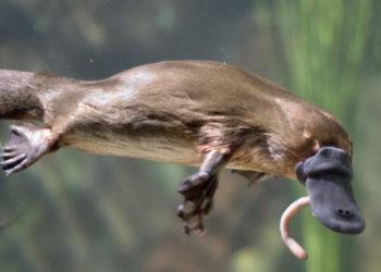 especie ornitorrinco hábitat