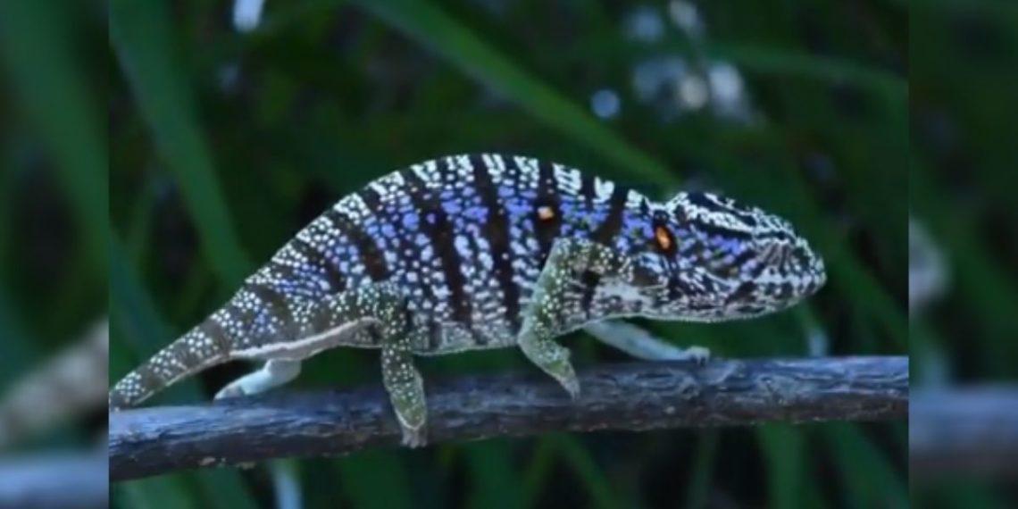 camaleón Voeltzkow