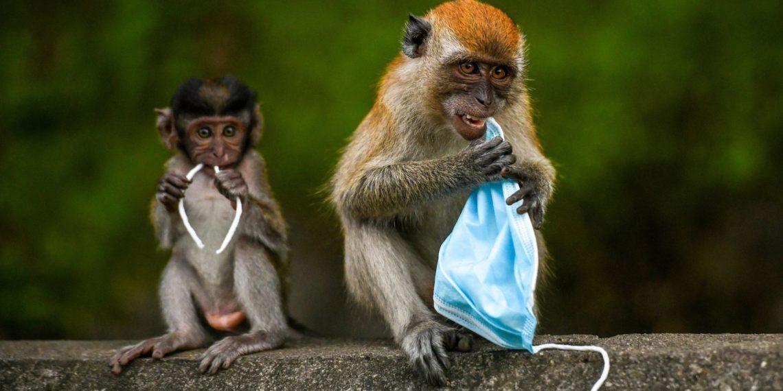 macaco que intenta devorar un tapabocas