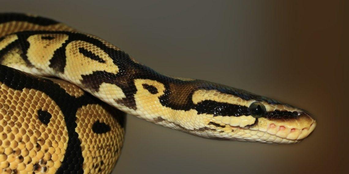 hombre serpiente inodoro