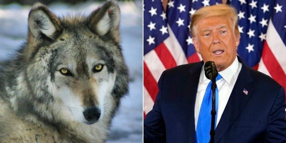 Trump eliminó protección a los lobos en Estados Unidos