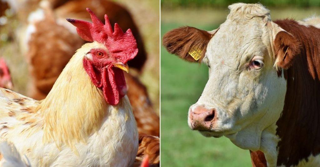 ganadería y producción de carne
