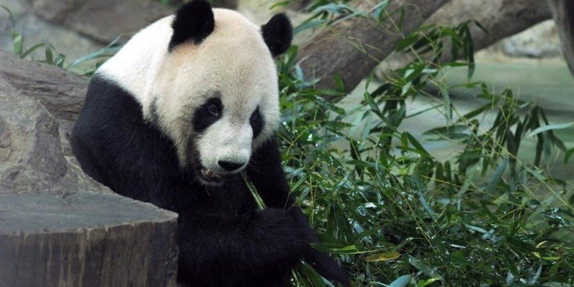 osa panda más vieja del mundo en China