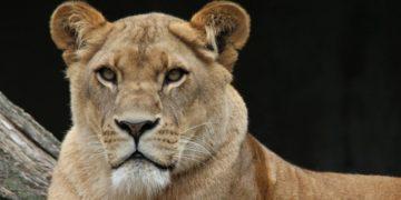 leones con COVID-19 en un zoológico en España