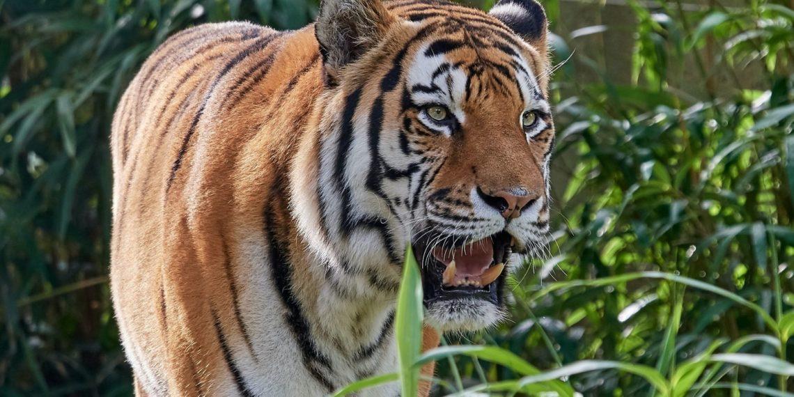 Tigre ataca a su domador