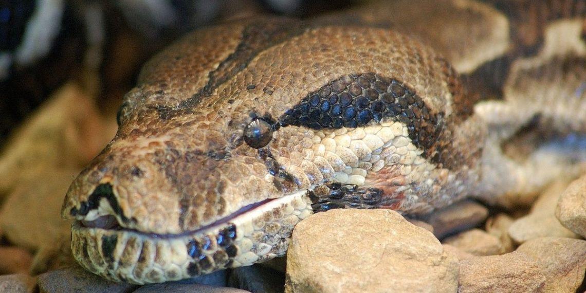 Atrapan anaconda de 6 metros