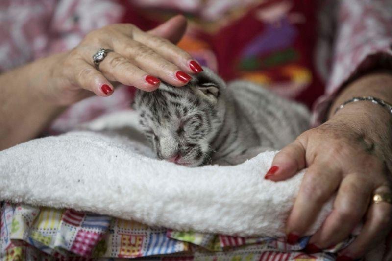 Nieve, la tigresa blanca que nació en Nicaragua