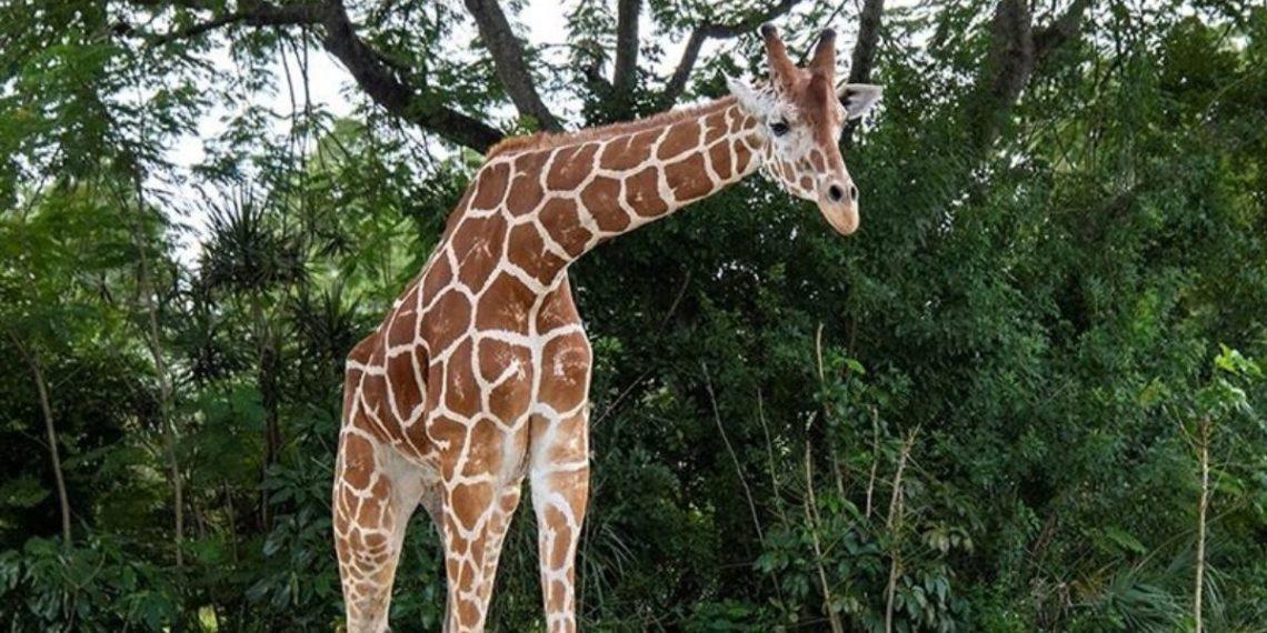 'Pongo', la jirafa que luchó por caminar pero a la que le tuvieron que aplicar la eutanasia