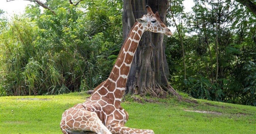 La jirafa Pongo le tuvieron que aplicar la eutanasia tras fracturarse dos patas